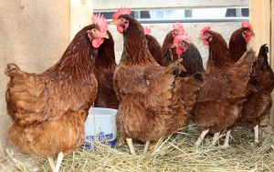 chickens-on-temp-coop