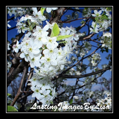 IMG_2449PearBlossoms