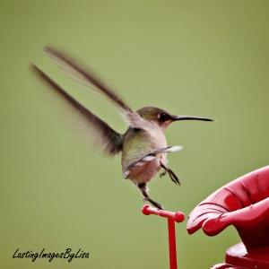 IMG_7585hummingbird